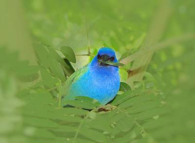 Photograph - Blue Nesting Bird by MTBobbins Photography