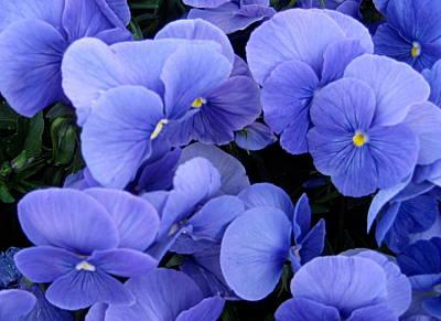 Photograph - Blue Pansies by AJ  Schibig