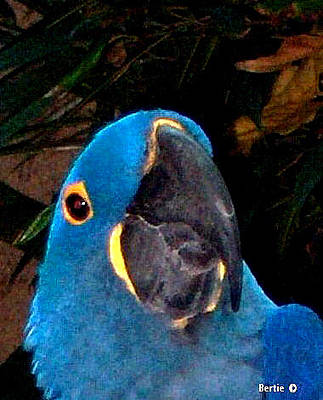 Photograph - Blue Parrot by Bertie Edwards