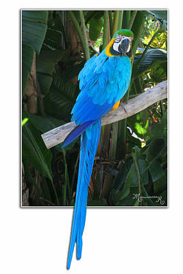Photograph - Blue Parrot by Mariarosa Rockefeller
