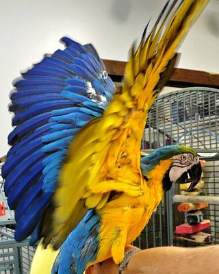 Photograph - Blue And Yellow Wingspread by Kim Bemis
