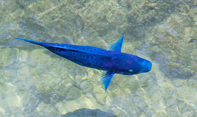 Photograph - Blue Parrotfish by John M Bailey