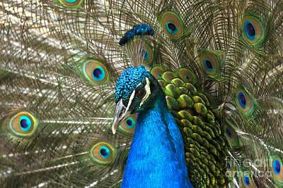 Photograph - Blue Peacock Closeup by Adam Jewell