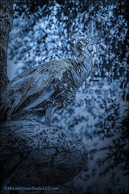 Bird Photograph - Blue Peacock by LeeAnn McLaneGoetz McLaneGoetzStudioLLCcom