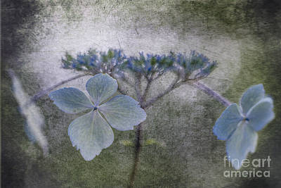 Photograph - Blue Petals. by Clare Bambers