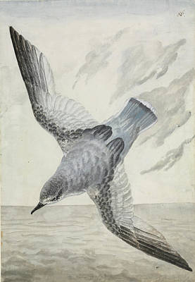 1794 Photograph - Blue Petrel by Natural History Museum, London