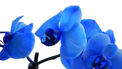 Photograph - Blue Phalaenopsis Orchid by Bill Swartwout