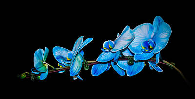 Blue Phalaenopsis Orchid Art Print by Len Romanick