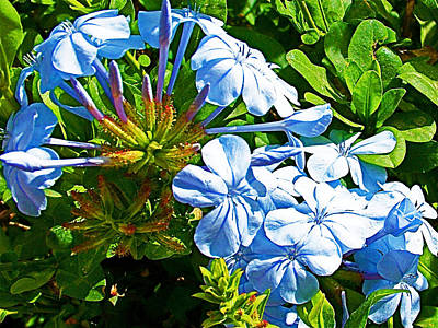 Madaba Photograph - Blue Phlox In Madaba-jordan by Ruth Hager