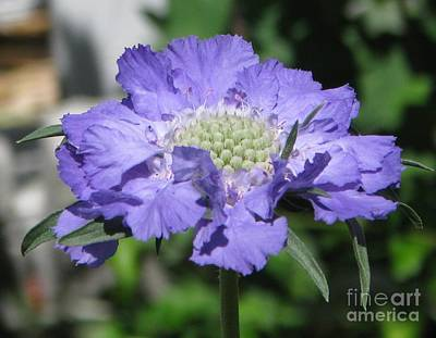 Photograph - Blue Pincushion  by Judyann Matthews