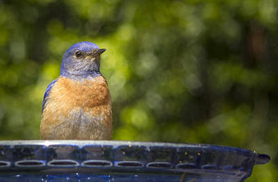 Bluebird Of Happiness Photograph - Blue Plate Special by Jean Noren