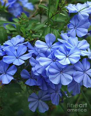 Photograph - Blue Plumbago In Full Bloom by Peter Piatt