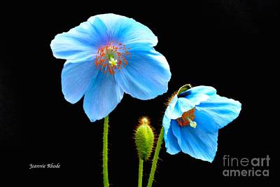 Art Print featuring the photograph Blue Poppy Flowers # 4 by Jeannie Rhode