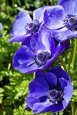 Photograph - Blue Poppy Anemone by Michael Porchik