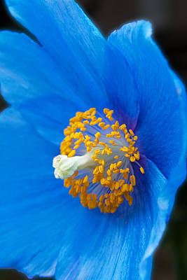 Photograph - Blue Poppy by Michael Porchik