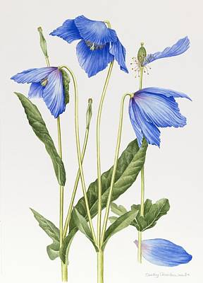 Redoute Painting - Blue Poppy by Sally Crosthwaite