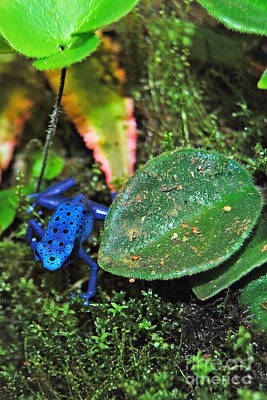 Digital Art - Blue Posion Arrow Frog by Eva Kaufman