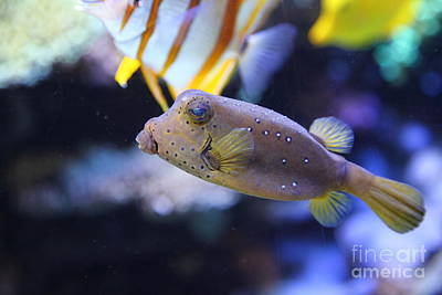 Puffer Fish Photograph - Blue Puffer Fish 5d24888 by Wingsdomain Art and Photography