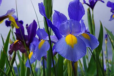 Yellow Bearded Iris Photograph - Blue Purple Iris Flowers Art Prints by Baslee Troutman