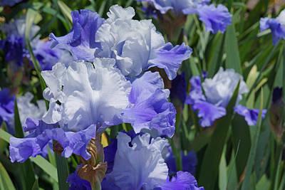 Yellow Bearded Iris Photograph - Blue Purple Irises Flowers Art Prints by Baslee Troutman