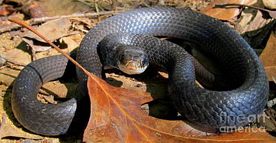 Wild Racers Photograph - Blue Racer by Joshua Bales
