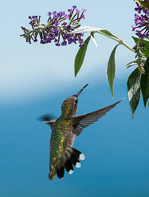 Photograph - Blue Ridge Hummingbird by Lara Ellis