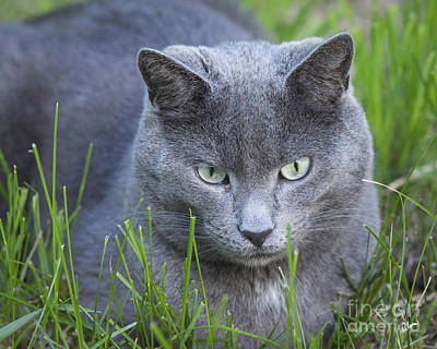 Photograph - Blue Roan Cat by Alana Ranney