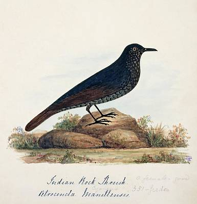 Thrush Wall Art - Photograph - Blue Rock Thrush by Natural History Museum, London/science Photo Library