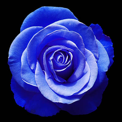 Surrealism Royalty-Free and Rights-Managed Images - Blue Rose by Aimee L Maher ALM GALLERY