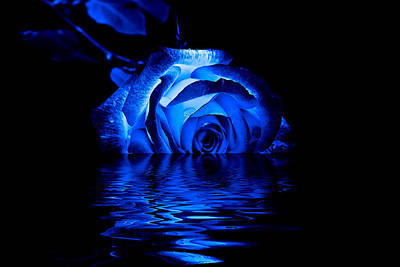 Blue Rose Art Print by Doug Long