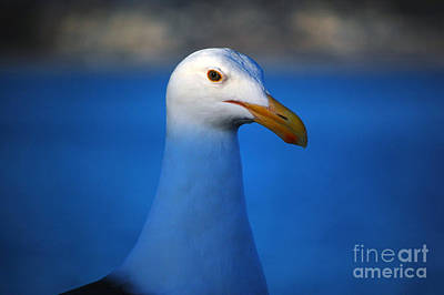 Blue Seagull Art Print by Debra Thompson