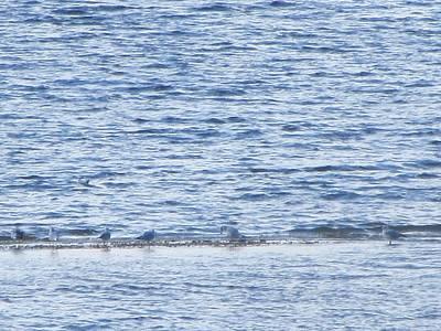 Photograph - Blue Seagull Peace On The Beach by Debbie Nester