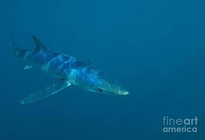 Photograph - Blue Shark Cruising 1430 by Colin Munro