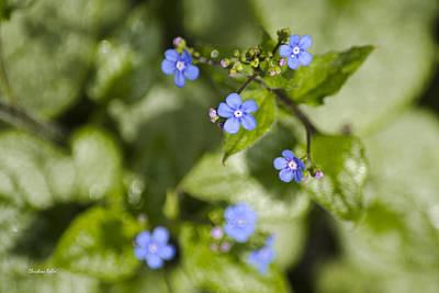 Photograph - Blue Siberian Bugloss Flowers by Christina Rollo