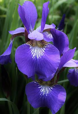 Photograph - Blue Siberian Iris by Bruce Bley