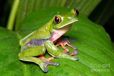 Photograph - Blue-sided Tree Frog by BG Thomson