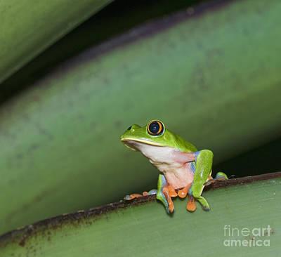 Photograph - Blue-sided Treefrog by Dan Suzio