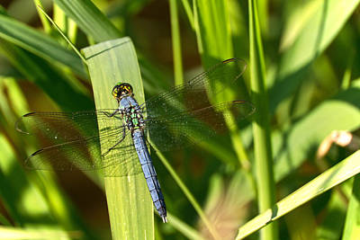 Photograph - Blue Skeeter Eater by Theo OConnor