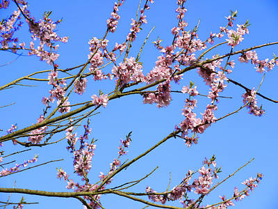 Blue Sky And Pink Blossom. Art Print