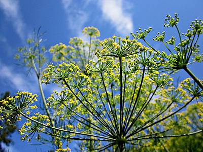 Photograph - Blue Sky Dill Flowers by MTBobbins Photography