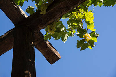 Blue Sky Grape Harvest - Thinking Of Fine Wine Art Print