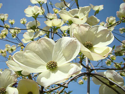 Blue Sky Spring White Dogwood Flowers Art Prints Art Print
