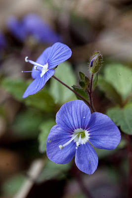 Photograph - Blue Speedwell by Robert Camp