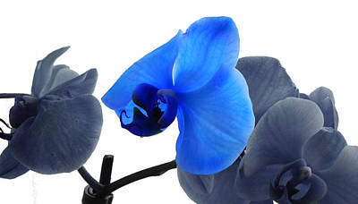 Photograph - Blue Splash Phalaenopsis Orchid by Bill Swartwout Fine Art Photography