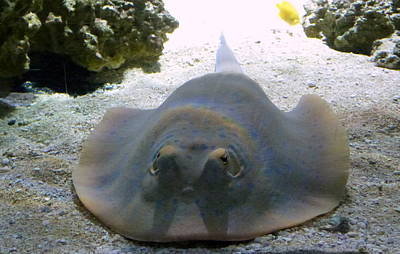 Blue Spotted Fan Tail Ray Original by Darrell MacIver