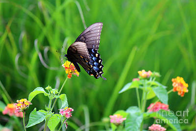 Photograph - Blue Spotted Swallowtail by Jackie Farnsworth