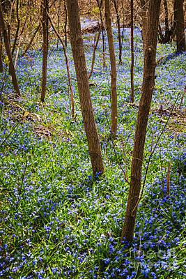Blue Spring Flowers In Forest Art Print by Elena Elisseeva