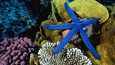 Under The Ocean Drawing - Blue Starfish by Cole Black