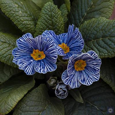 Blue Striped Polyanthus Original