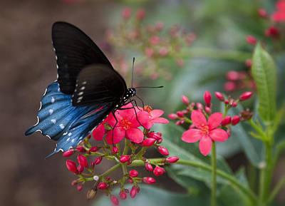 Blue Swallowtail Butterfly  Art Print by Saija  Lehtonen